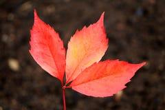 Деталь листьев красивой осени красочных Стоковые Изображения RF