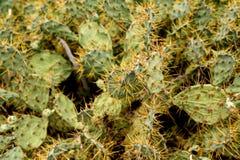 Деталь кактусов в пустыне Стоковые Изображения RF