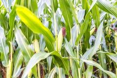 Деталь кукурузного поля Стоковое Изображение RF