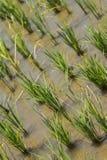 Деталь рисовой посадки в поле Стоковые Фото