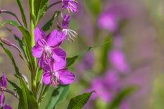 Деталь цветков засорителя вербы Стоковые Изображения