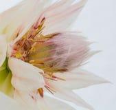Деталь Serruria Стоковая Фотография RF