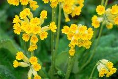 Деталь veris Primula в саде Стоковая Фотография