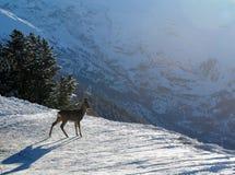 детеныши зимы оленей Стоковое Изображение