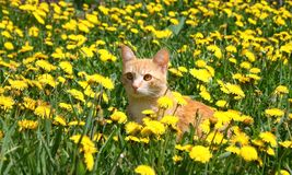детеныши имбиря кота Стоковые Изображения