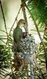 Детеныши колибри подавая Стоковая Фотография RF