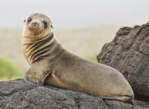детеныши моря льва Стоковая Фотография