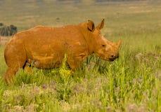 детеныши носорога белые Стоковое Изображение RF