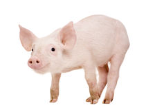 детеныши свиньи 1 месяца Стоковое Фото