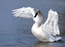 детеныши трубача лебедя Стоковые Фото