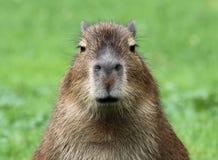 детеныши capybara Стоковые Изображения