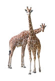 детеныши giraffe пар Стоковые Изображения RF