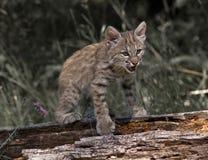 детеныши lynx Стоковые Изображения RF