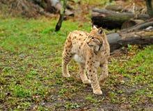 детеныши lynx Стоковые Фото