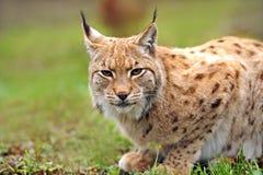 детеныши lynx Стоковые Изображения