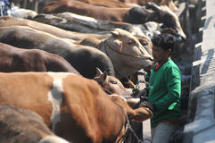 Деятельность на традиционном рынке коровы во время подготовки al-Adha Eid в Индонезии Стоковая Фотография RF