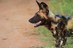 Дикая собака стоя ищущ добыча Стоковое фото RF