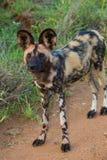 Дикая собака стоя ищущ добыча Стоковая Фотография RF