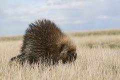 Дикобраз идя в поле Стоковое Фото