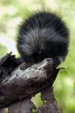 Дикобраз младенца (dorsatum Erethizon) грызет на ветви Стоковые Изображения RF