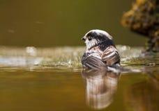 Длинн-замкнутый купать синицы Стоковые Фотографии RF