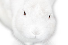 Довольно милый пушистый изолированный белый зайчик Стоковое Изображение