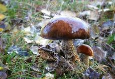 дождь лягушки Стоковая Фотография