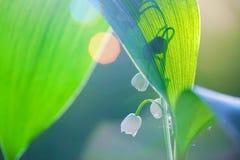 долина лилии Стоковое Изображение