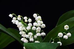 долина лилии Стоковое Фото