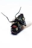 дом мухы Стоковые Фотографии RF