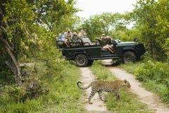 Дорога скрещивания леопарда с туристами в предпосылке Стоковая Фотография RF