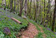 Древесина Bluebell весной Стоковые Фото