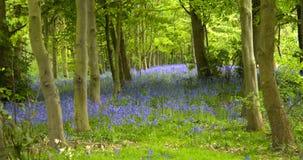 Древесина Bluebell Стоковое Изображение RF