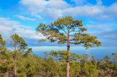Древесины сосны Стоковые Изображения RF