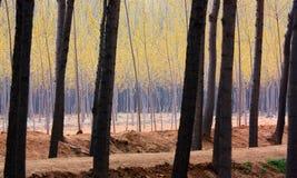 древесины тополя Стоковое Изображение