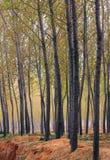 древесины тополя Стоковые Изображения