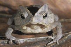 Древесная лягушка на конце-вверх лист Стоковая Фотография