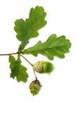 дуб ветви жолудей Стоковые Изображения RF