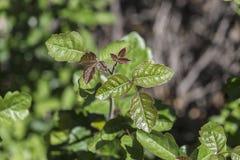 Дуб отравы Стоковые Изображения RF