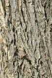 дуб расшивы Стоковые Фото