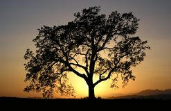 дуб california Стоковые Фото