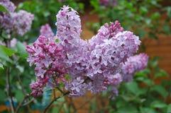紫丁香属植物 库存照片