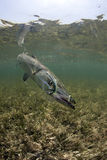 水下梭子鱼的纵向 免版税库存图片