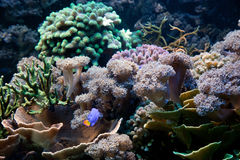 水下珊瑚鱼生活的礁石 图库摄影