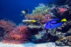 水下珊瑚鱼生活的礁石 免版税库存图片