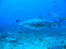 水下的公牛鲨鱼 库存图片