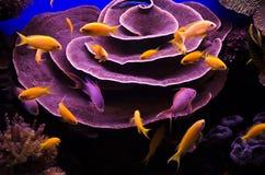 水下的珊瑚和红海鱼 免版税库存图片