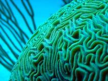 水下的脑珊瑚 免版税库存图片
