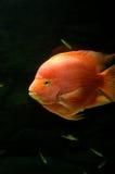 水下的金鱼 库存照片
