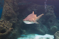 水下的鲨鱼 免版税库存照片